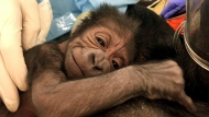 """In this file photo provided by the Philadelphia Zoo a newly born western lowland gorilla rests on its mother Kira in Philadelphia. The baby gorilla finally has a name and his mother picked it out. The zoo says keepers decorated boxes with three name choices and filled them with treats. Whichever box mom Kira went to first would be the baby's name. Kira headed straight for the box labeled """"Ajabu."""" (Philadelphia Zoo via AP, File)"""