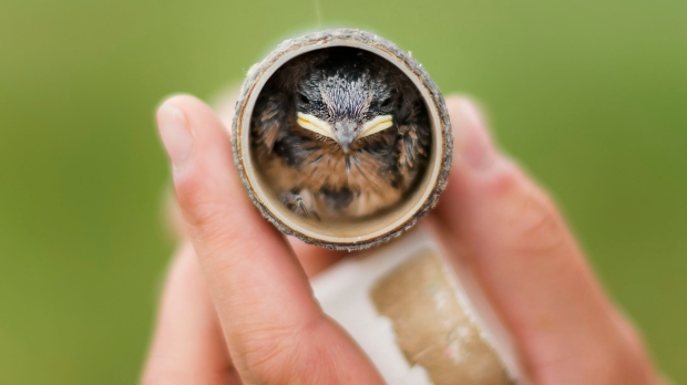 Inside Ontario's fight to save declining barn swallows ...