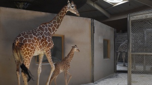 This June 28, 2017 photo provided by The Maryland Zoo shows a baby giraffe, Julius, and his mother, Kesi, at the zoo in Baltimore. The three-week-old baby giraffe has been placed in intensive care at a Maryland zoo after a sudden change in its bloodwork. The calf has been struggling since he was born June 15 at The Maryland Zoo in Baltimore. (Jeffrey F. Bill/The Maryland Zoo via AP)