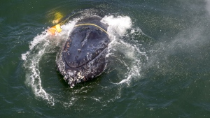 This undated photo provided by NOAA shows a humpback whale entangled in fishing line, ropes, buoys and anchors in the Pacific Ocean off Crescent City, Calif. Rescuers freed the badly tangled humpback whale Tuesday, July 18, 2017, after it had struggled for days against the weight of fishing lines, buoys and anchors dragging it to the ocean floor off California. Team leader Pieter Folkens says freeing the whale took nearly eight hours. (Bryant Anderson/NOAA Fisheries MMHSRP Permit# 18786-01 via AP)