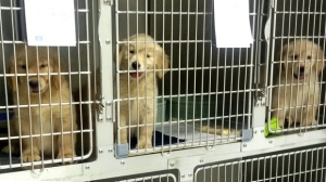 Puppies seized as a part of an animal cruelty investigation are shown on July 20, 2017. (Toronto Animal Services)