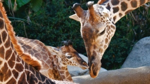 A female Masai baby giraffe born July 11, mingles with older giraffes in her inclosure during its public debut at the Los Angeles Zoo, Wednesday, July 26, 2017. (AP Photo/Richard Vogel)