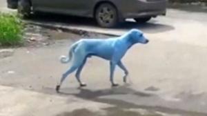 blue dog india