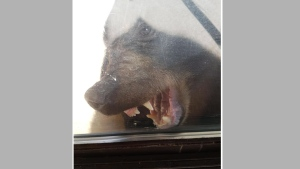 A black bear attempts to chew on a patio door as it tries to get into a home in Gibsons, B.C., in this August 19, 2017 handout photo. Police say a black bear has been put down after it broke into a home and terrified a family in Gibsons, B.C. Sunshine Coast RCMP say Elery Froude was home with her two sons and a family friend on Saturday evening when an adult male bear wandered in through the sliding glass door. THE CANADIAN PRESS/HO - RCMP