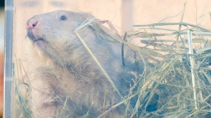 Groundhog Wiarton Willie looks out of his plexiglass box to make his weather prediction in Wiarton on Sunday February 2, 2014. The groundhog prognosticator predicted 6 more weeks of winter. THE CANADIAN PRESS/ Frank Gunn