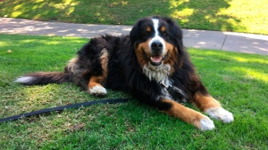 Izzy, a 9-year-old Bernese Mountain Dog who belongs to Jack Weaver's parents relaxes Saturday, Oct. 14, 2017, in Windsor, Calif. Weaver and his brother-in-law Patrick Widen were surprised to discover that Izzy was uninjured in a ferocious wildfire that destroyed the neighborhood early Monday morning. (AP Photo/Jonathan Copper)