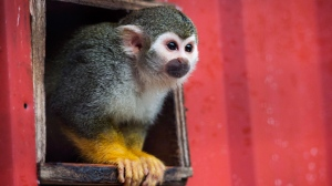 Rudy a Squirrel Monkey looks outside at the Story Book Farm Primate Sanctuary in Sunderland, Ont., on Tuesday, August 16, 2016. THE CANADIAN PRESS/Nathan Denette