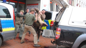 People carry a wild boar after it was shot in the center of Heide, northern Germany, Friday, Oct. 20, 2017. Police say a pair of wild boars have gone on the rampage and injured at least four people in the north German town of Heide. Authorities warned people to stay indoors after the adult animals appeared early Friday and began attacking pedestrians. Police said one of the boars was shot dead outside a bank, the other is still on the run. (Helge Holmson/dpa via AP)