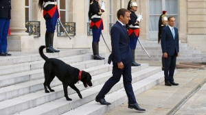 FILE - In this Monday, Aug. 28, 2017 file picture, France's President Emmanuel Macron walks down the steps of the Elysee Palace, with his newly adopted dog, a labrador crossed griffon named Nemo, as he prepares to welcome the President of Niger Mahamadou Issoufou, in Paris, France. Macron's dog Nemo interrupted a meeting his master was having with members of his government when he urinated against a fireplace in the Elysee Palace. (AP Photo/Francois Mori, File)