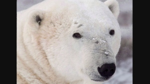 A polar bear sits along the shore of Hudson Bay near Churchill, Man. on Wednesday, Nov. 7, 2007. Canada's wildlife police hope a recent bust of illegal exports of polar bear rugs to China will soon be a thing of the past. THE CANADIAN PRESS/Jonathan Hayward