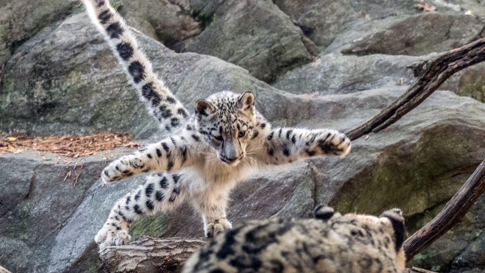 In this Oct. 10, 2017 photo, a female snow leopard cub leaps towards another leopard at the Bronx Zoo in New York. (Julie Larsen Maher/Wildlife Conservation Society via AP)