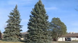 A 42-foot blue Colorado spruce tree, donated by Charleswood resident Antony van Ginkel, was selected as city hall's Christmas tree for 2017.
