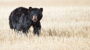 Concern is growing for an injured black bear, shown in a recent handout photo, that has been spotted on the outskirts of Calgary. THE CANADIAN PRESS/HO-Kinan Echtay