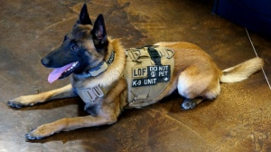 A former bomb dog wears an armoured vest in a handout photo. An anonymous corporate donor is offering to equip some canine members of Toronto's police force with armoured vests designed to protect them from sharp weapons.THE CANADIAN PRESS/HO-Line of Fire Defence Systems MANDATORY CREDIT