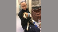 Ontario Humane society veterinarian Shelley Hutchings holds Sadie Mae, a beagle that was found last week with a gunshot wound to the head.THE CANADIAN PRESS/HO-Ottawa Humane Society MANDATORY CREDIT