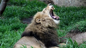 FILE - This January 2013 file photo, shows a lion yawning near the National Parks sanctuary in Zimbabwe. A month before the Trump administration sparked outrage by reversing a ban on body parts from threatened African elephants, federal officials quietly loosened restrictions on the importation of heads and hides of lions shot for sport. The U.S. Fish and Wildlife Service began issuing permits on October 20 for lions killed in Zimbabwe and Zambia between 2016 and 2018. Previously, only wild lions killed in South Africa were eligible to be imported. (AP Photo/Tsvangirayi Mukwazhi, File)
