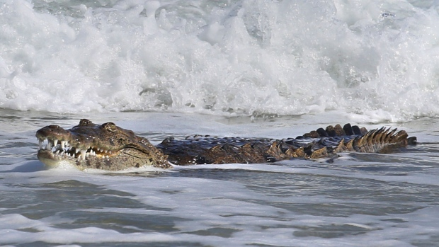 Florida officials wrangle 6-foot crocodile who washed up ashore