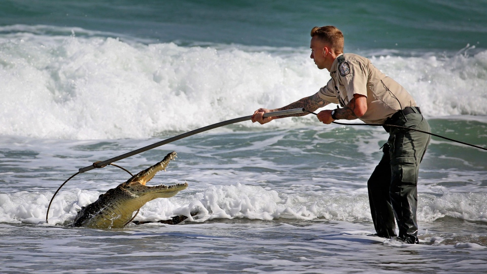 A Florida Fish and Wildlife Conservation Commission officer tries to capture a crocodile Monday, Nov. 20, 2017, along Hollywood Beach near Johnson Street. (Susan Stocker/South Florida Sun-Sentinel via AP)