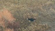 A wandering moose was spotted by the CTV News Toronto helicopter on Nov. 24, 2017.