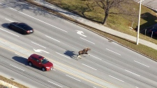 Extended: Moose makes mad dash across the street