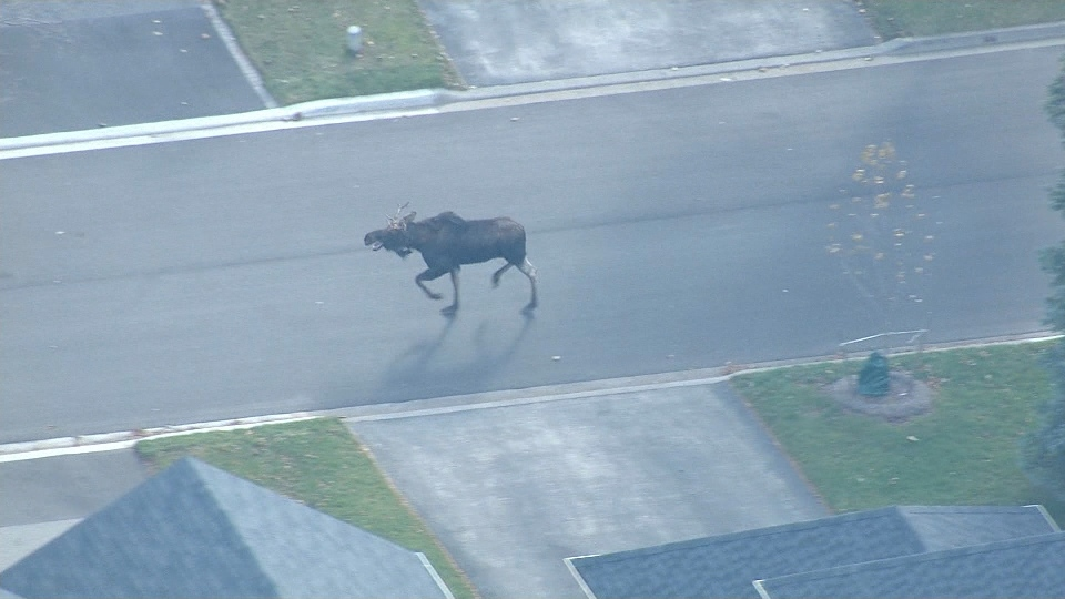 A moose is seen navigating a street in Markham on Friday afternoon.