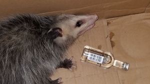 An Opossum that made its way into a liquor store in Florida is shown after police took it to a local shelter. (Emerald Coast Wildlife Refuge/Facebook)