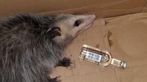 Drunk Opossum