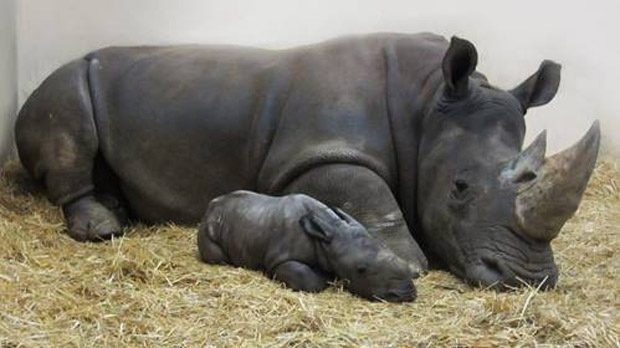Toronto Zoo welcomes its first baby white rhinoceros in 27 years
