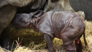 The Toronto Zoo says a greater one-horned rhinoceros calf, shown in this handout image, is its first newborn animal of 2018. THE CANADIAN PRESS/HO-Toronto Zo