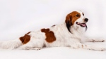 In this 2013 photo provided by the American Kennel Club, a Nederlandse kooikerhondje, a Dutch duck-luring dog, poses for a photographer. The dog is among the latest breeds to join the American Kennel Club pack, making members of the breed eligible for major dog shows in 2018 and the Westminster Kennel Club show in 2019. (Thomas Pitera/American Kennel Club via AP)