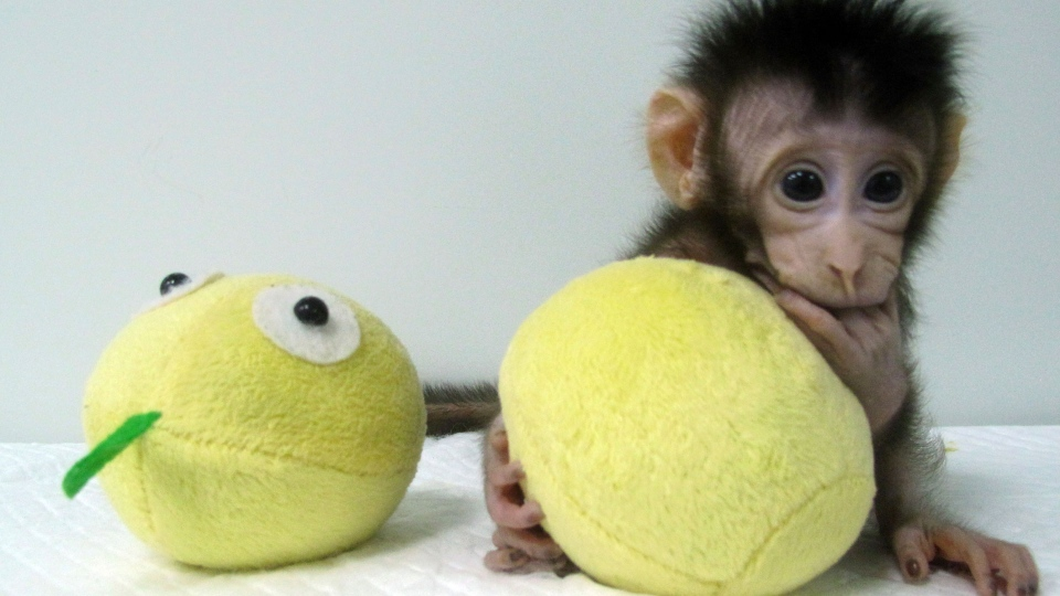 In this undated photo provided by the Chinese Academy of Sciences, cloned monkey Hua Hua sits with a fabric toy. For the first time, researchers have used the cloning method that produced Dolly the sheep to create two healthy monkeys, potentially bringing scientists closer to being able to do that with humans. (Sun Qiang and Poo Muming/Chinese Academy of Sciences via AP)