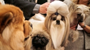 Chinese dog breeds pose for a picture during a news conference in New York, Tuesday, Jan. 30, 2018. The dogs were part of news conference to promote the 142nd Annual Westminster Kennel Club Dog Show, which is taking place in New York City starting Feb. 12, 2018. (AP Photo/Seth Wenig)