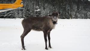 A caribou is shown after being relocated to the Slate Islands in northern Ontario in a Ministry of Natural Resources and Forestry handout photo. THE CANADIAN PRESS/HO-Ministrey of Natural Resources and Forestry MANDATORY CREDIT