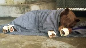 This Jan. 2018 file photo provided by the California Department of Fish and Wildlife shows a bear, injured in a wildfire, resting with its badly burned paws wrapped in fish skin - tilapia - and covered in corn husks during treatment at the University of California, Davis Veterinary Medical Teaching Hospital in Davis, Calif. Two female bears badly burned in a wildfire are back home in the Los Padres National Forest. KABC-TV reports recent photos and GPS tracking show the bears are moving around and in good health in the forest after suffering burn injuries in December from a massive wildfire that affected Ventura and Santa Barbara counties. The bears were released back into the wild in January. (California Department of Fish and Wildlife via AP, File)