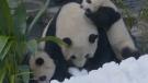 Snow pandas