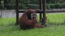 An orangutan smokes a cigarette in its enclosure at Bandung Zoo in Indonesia in this image made from a video shot Sunday March 4, 2018.