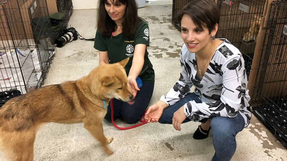 Canadian Olympian Meagan Duhamel and a Humane Society International volunteer meets with Sunny, one of more than 80 dogs rescued from a dog meat farm in South Korea, in Montreal on Thursday, March 15, 2018. The dogs have been moved to Montreal where they're being cared for until permanent homes can be found. THE CANADIAN PRESS/Sidhartha Banerjee