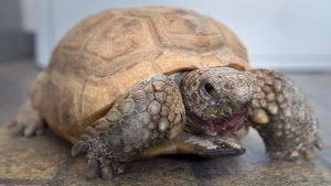Gus, a 95-year-old gopher tortoise, his mouth stained from eating berries, is seen at the Nova Scotia Museum of Natural History in Halifax on Friday, March 16, 2018. Gus was born and raised in Florida, purchased for a nominal fee by a former museum director, and moved to Halifax in 1942. Believed to be the oldest gopher tortoise in the world, Gus is a big hit with visitors of all ages. THE CANADIAN PRESS/Andrew Vaughan