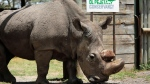 """In this Wednesday, May 3, 2017, file photo, Sudan, the world's last male northern white rhino, is photographed at the Ol Pejeta Conservancy in Laikipia county in Kenya. Researchers say Sudan has died after """"age-related complications."""" (AP Photo/File)"""