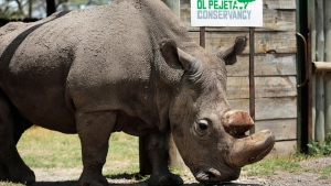 "In this Wednesday, May 3, 2017, file photo, Sudan, the world's last male northern white rhino, is photographed at the Ol Pejeta Conservancy in Laikipia county in Kenya. Researchers say Sudan has died after ""age-related complications."" (AP Photo/File)"