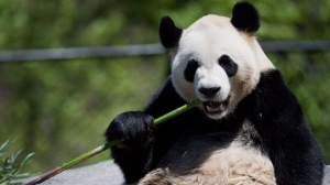 Giant panda Da Mao eats bamboo at the Toronto Zoo on Thursday, May 16, 2013. Today is the latest chance to see giant pandas Da Mao and Er Shun at the Toronto Zoo before the bears head west to Calgary.THE CANADIAN PRESS/Nathan Denette