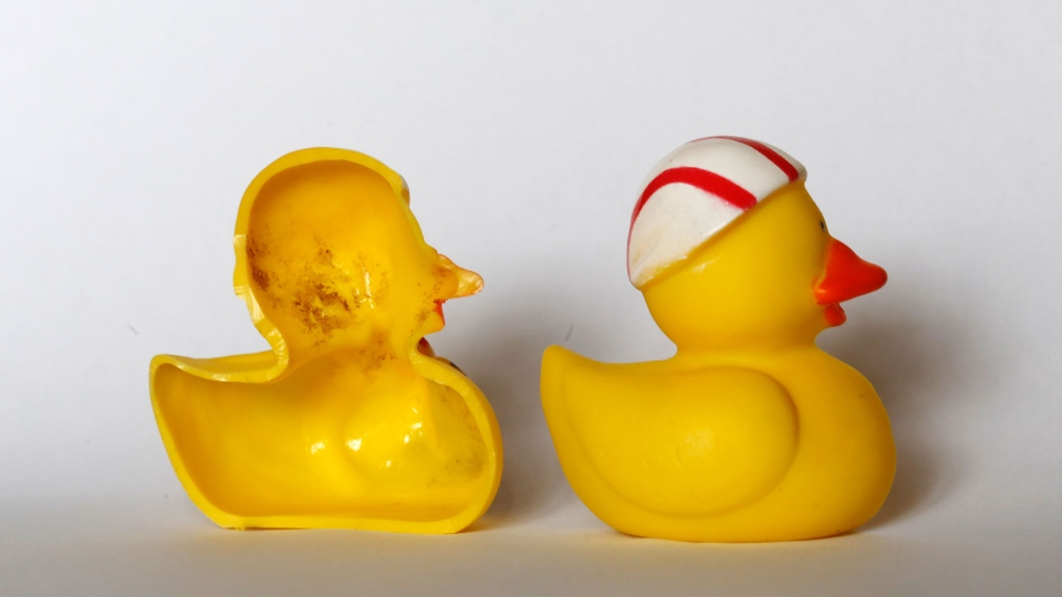 The March 27, 2018 photo shows the inside of a rubber duck after it was cut open for the photo in Nauen, Germany. Swiss researchers now say the cute, yellow bath-time friends harbor a dirty secret: Microbes swimming inside. The Swiss Federal Institute of Aquatic Science and Technology says researchers turned up 'dense growths of bacteria and fungi' on the insides of toys like rubber ducks and crocodiles.( AP Photo/Ferdinand Ostrop)