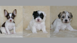 A Chihuahua puppy, left to right, a female Havanese-Maltese puppy and a male Havanese-Maltese puppy are shown in this undated combination handout photo. THE CANADIAN PRESS/HO - RCMP