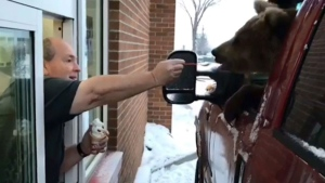 A Kodiak bear is fed ice cream in a Dairy Queen drive-thru in a screengrab from a video posted to Facebook by the Discovery Wildlife Park. The province has laid two charges under the Wildlife Act against a central Alberta zoo after a bear was taken through a drive-thru for ice cream. A video, posted on social media in January by Discovery Wildlife Park in Innisfail, showed a one-year old captive Kodiak bear named Berkley leaning out a truck's window and being hand-fed ice cream by the owner of the local Dairy Queen. THE CANADIAN PRESS/HO-Facebook-Discovery Wildlife Park MANDATORY CREDIT