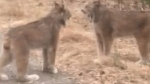 Two lynx face each other in a screengrab taken from a video posted to Facebook. An Ontario man who shot a viral video of two lynx shrieking in each other's faces says he's no stranger to the animals, but was shocked by what he saw. THE CANADIAN PRESS/HO-Facebook/Ed Trist