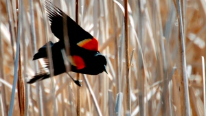 FILE - In this May 8, 2007, file photo, a male red-winged black bird perches on reed in a wetland area west of Great Falls, Mont. (Robin Loznak/Great Falls Tribune via AP, File)
