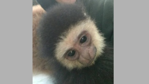 A baby Gibbon monkey named Agnus is one of the animals stolen from the Elmvale Jungle Zoo near Barrie. (Elmvale Jungle Zoo /Facebook)
