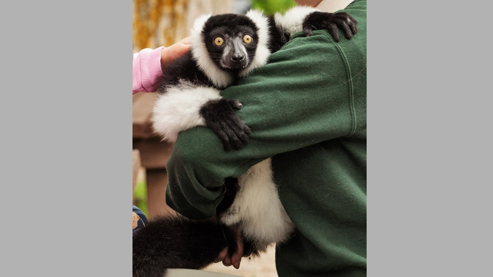 JC the lemur is one of the animals stolen from the Elmvale Jungle Zoo near Barrie. (Elmvale Jungle Zoo /Facebook)