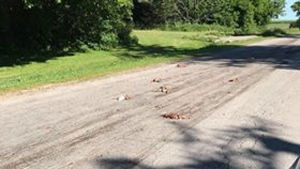 Dead animals lie strewn across Concession Road 3 in Adjala-Tosorontio Township June 19, 2018. (Teresa Stewart)