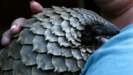 In this file photo taken on Friday March 16, 2018 a pangolin from the Johannesburg Wildlife Veterinary Hospital is taken to a nearby field to forage for food near Johannesburg. (AP Photo/Denis Farrell, File)